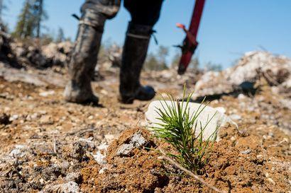 Metsähallitus: ennätysmäärä nuoria haki metsänistutukseen Koillismaalla