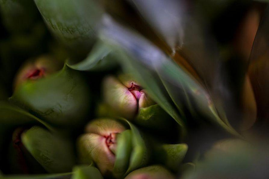 """Tulppaanit kannattaa ostaa nupuillaan, kun varret """"narisevat""""."""