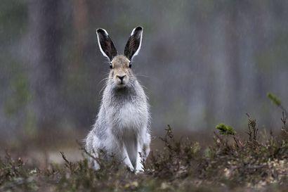 Eija Kujansuu on valvonut öisin jo viisi vuotta, koska silloin metsäjänis ei arkaile – havaintojensa perusteella hän ei pidä lajin tieteellisestä nimestä eikä metsästysajankohdasta