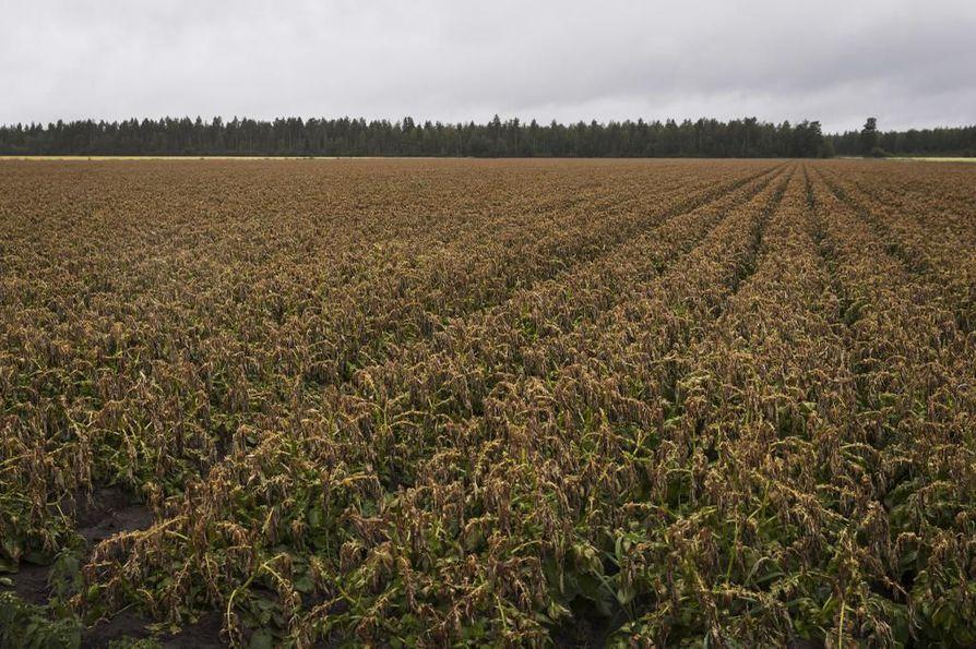 Halla tappaa perunan vihreät latvalehdet, jolloin ne muuttuvat ruskeiksi. Viime viikon hallayöt ruskeuttivat usean tyrnäväläisen pottupellon.