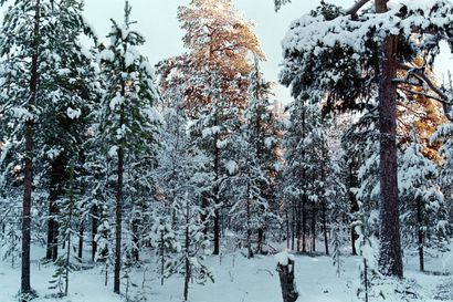 Jatkuvan metsänkasvatuksen puolesta – Professori Timo Pukkala Itä-Suomen yliopistosta panostaisi metsien tuottavuuteen kuutioiden sijaan