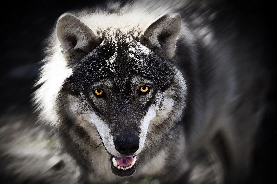 Kannanhoidollisessa metsästyksessä kaadettiin toissa talvena 17 sutta ja viime talvena 43. Kuvan susi on Ähtärin eläinpuistosta.