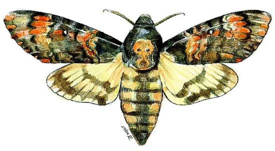 Pääkallokiitäjä on suurin Suomessa koskaan nähty perhonen. Sen siipien kärkiväli on jopa 13 senttiä.