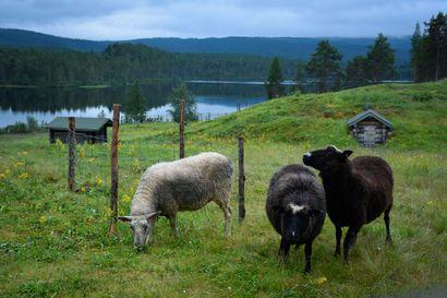 Metsähallituksen paimenviikot veti hakijoita Kaapin Jounin tilalle Lemmenjoen kansallispuistoon – Hakemuksia tuli yli tuhat