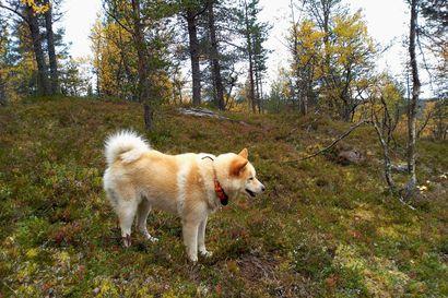 """Hirvenpyynti työllistää eläinlääkäriä, kun koiria tuodaan etelästä Ylä-Lappiin asti: """"Inarin kunnassa on ihan perinteistä koirien keskinäisten tappeluiden jälkien hoitaminen"""""""