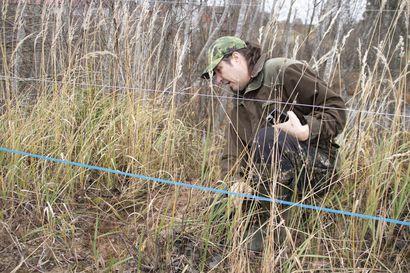 Iso-Junnojen jalostuslampolassa mittava vahinko – sudet kaivoivat itsensä petoaidan alitse laitumeen