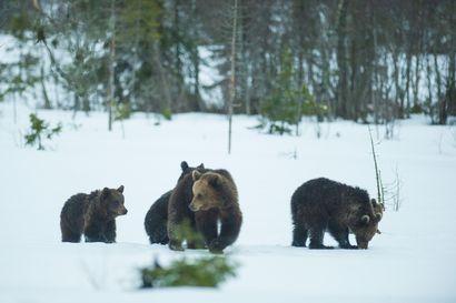 """Harvinainen tilanne kuviin Kuusamossa: Neljä 2,5-vuotiasta karhunpentua seuraa vielä emoaan – viettivät talven """"kuusenpersauksessa"""""""