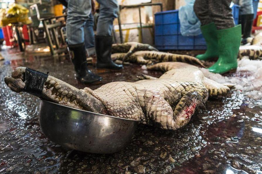 Kiinan kalatoreilla myydään paljon muutakin kuin kalaa ja katkarapuja. Esimerkiksi kokonaisena ostettu krokotiili maksaa alle kymmenen euroa kilolta. Matelijoiden ja sammakkoeläinten lisäksi toreilla myydään lintuja ja nisäkkäitä, joista monet on salametsästetty.