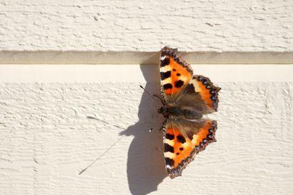 Kalevan kevätseuranta: Milloin näit kevään ensimmäisen nokkosperhosen?