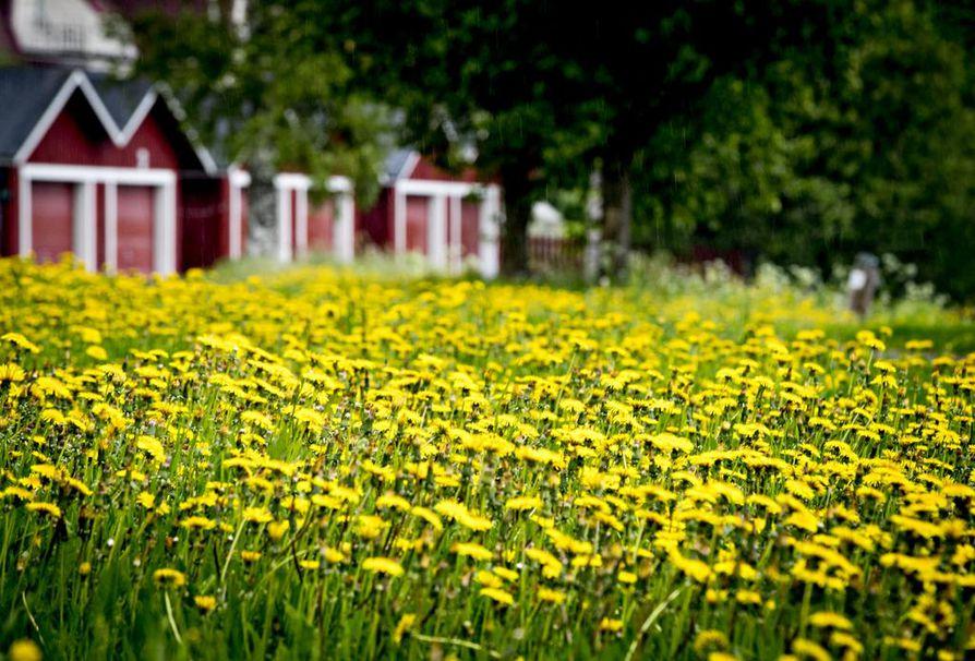 Myös Oulujoen varressa kukkii.