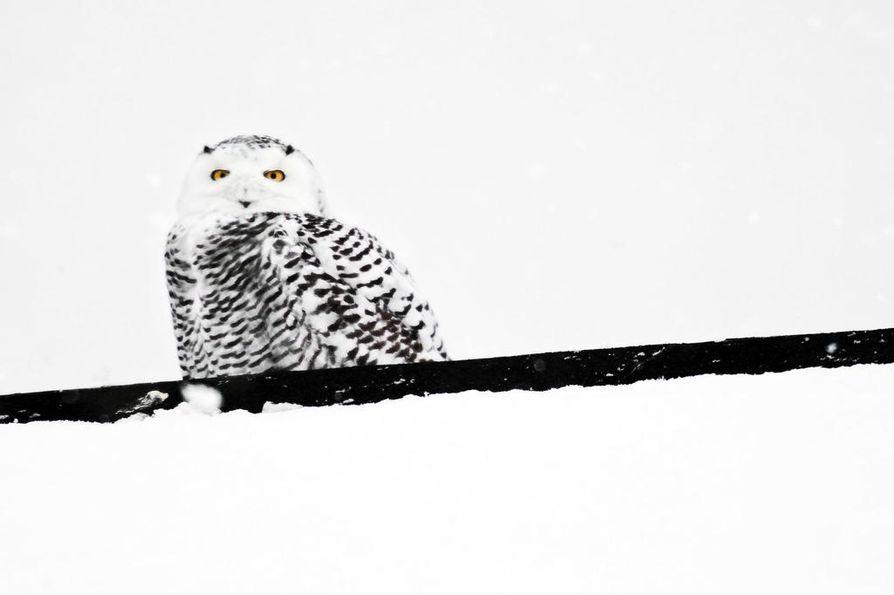 Tämä tunturipöllö veti ulkomaita myöten lintuharrastajia Rovaniemen Niskanperälle maaliskuussa 2012.