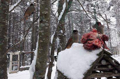 Lintulaudalla: Herkuttelua hirvenlihalla