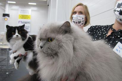 Onko rotukissa aina sairas? FIFen säännöt kieltävät kissan terveydelle haitallisia mutaatioita, mutta ennakkoluulot ovat tiukassa