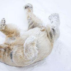 Muodollisesti pätevä – Ranuan eläinpuiston uusi jääkarhu Nord valittiin Venuksen kumppaniksi geenien perusteella