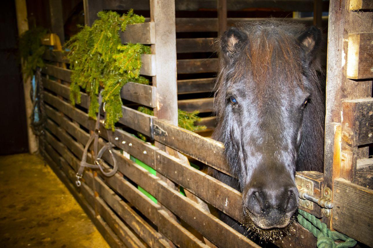 Eläimellistä menoa vai vilinää, vilskettä? Katso, millaisissa tunnelmissa joulua odotellaan Lehtokummun kotieläinpihalla Temmeksellä
