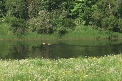 Sudet uivat Siikajoen yli  juhannuspäivänä keskellä päivää lukijan videossa