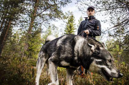 Listasimme Lapin suosituimmat koirarodut kunnittain: Kärjessä metsästyskoiria, huskyja ja porokoiria – paitsi Kemissä hihnan päässä on usein suloinen coton de tulear