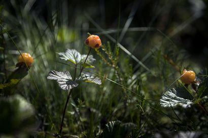 Hillaan voi mennä jo viikonloppuna–tästä kesästä ei ole tulossa niin hurjaa hillakesää kuin viime vuodesta, mutta marjoja tulee erittäin mukavasti