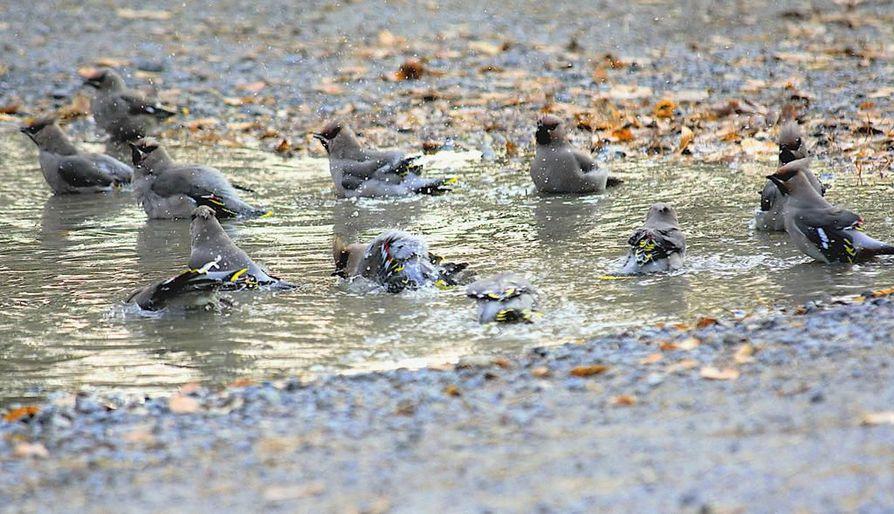 Lukija kuvasi tilhien kylpylää. Lintuja on voinut nähdä suurissa parvissa.