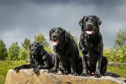 Labradorinnoutaja on yhä Suomen ykköskoira – katso lista kymmenestä suosituimmasta rodusta