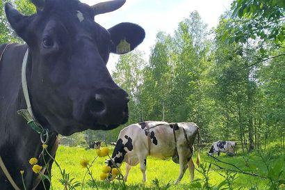 Lehmät karkasivat maatilan pihasta jokeen Kalajoella – pelastuslaitos auttoi eläimet kuivalle maalle