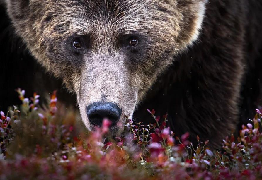 Ville Heikkisen kuva Karhun katse.