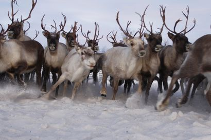 Saamelaiskäräjät vetoaa: Porot heikkoja paksujen hankien keskellä, eivät kestä nyt metsästäjien ja hupikelkkailijoiden häiriötä
