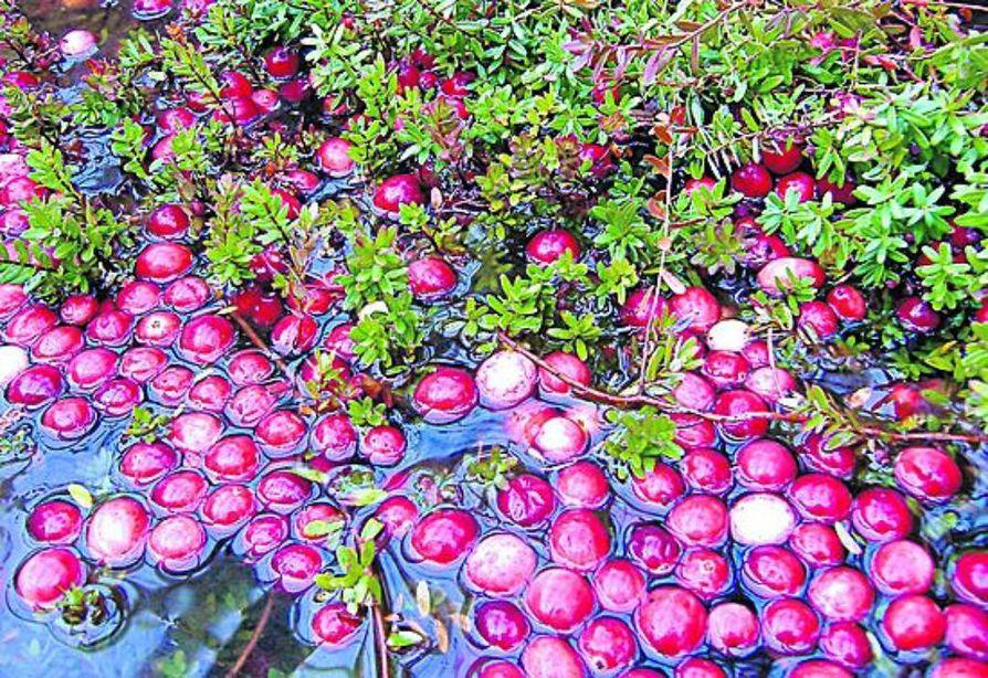 Karpalo kasvaa samoilla leveyspiireillä Suomessa ja Pohjois-Amerikassa. Yhdysvaltalainen pensaskarpalo on suurempi ja miedompi kuin Suomessa   luonnonvaraisena viihtyvät iso- ja pikkukarpalo.