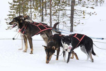 Ministeriö vahvistaa: Koira- ja porovaljakot saavat jatkossa kulkea moottorikelkkareiteillä –voi estää erillisellä lisäkilvellä, Kittilässä alkamassa suuri kylttirumba