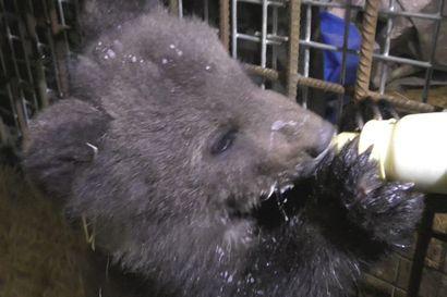 Katso video: Orpo karhunpentu ruokailee ja köllöttelee Kuusamon suurpetokeskuksessa