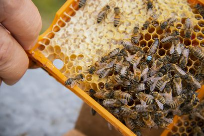 """Jukka oli pelastamassa yhtä mehiläisten alkuperäisrotua jo 90-luvulla: """"Tiedätkö mihin olet ryhtymässä?"""""""