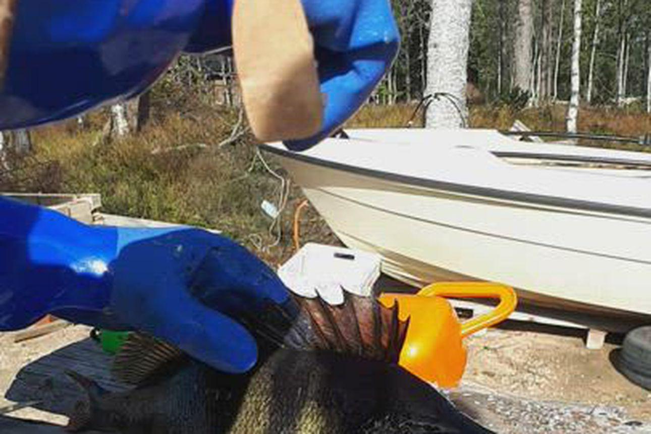 Sari ja Mika Käsmä saivat Taivalkosken Loukusanjärvestä verkoilla 2,27-kiloisen ahvenen.