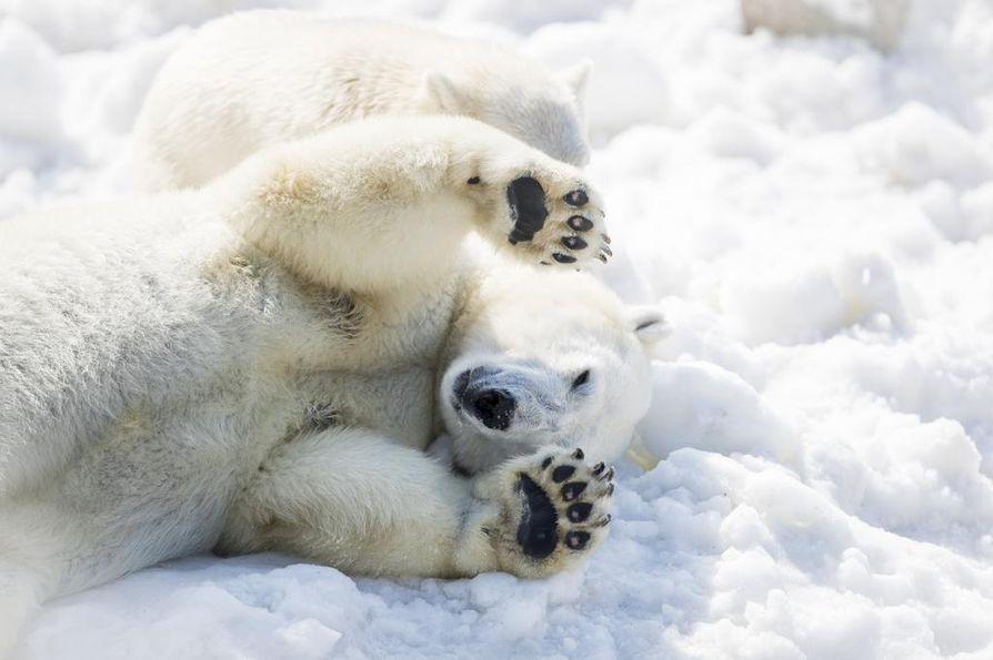 Ranuan eläinpuiston jääkarhuja odotti keskiviikkona mieluisa yllätys: eläinten aitauksiin kaadettiin yhteensä 100 kuutiota Rukalta tuotua lunta.