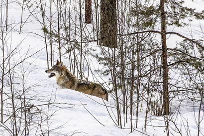 """Liminkalainen Matti Nikkilä: """"Nykyinen suosion kalastelu petoeläinten kustannuksella on saanut surkuhupaisia piirteitä"""""""
