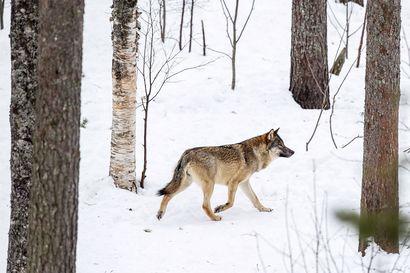 Miehen epäillään metsästäneen susia laittomasti myrkkysyöteillä vuosien ajan – asia siirtyy syyteharkintaan