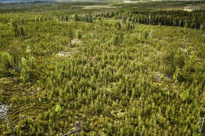 Metsähallitukselle asetettu linjaus ei vähennä valtion hakkuita Lapissa