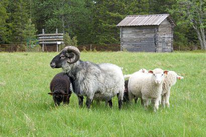 Suosiiko arpa? – Syötteen kansallispuiston Rytivaaraan haetaan jälleen lammaspaimenia ensi kesäksi