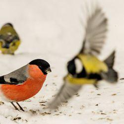 Suomen suurin luontotapahtuma järjestetään jälleen viikonloppuna – kuka vain voi osallistua pikkulintujen bongaamiseen