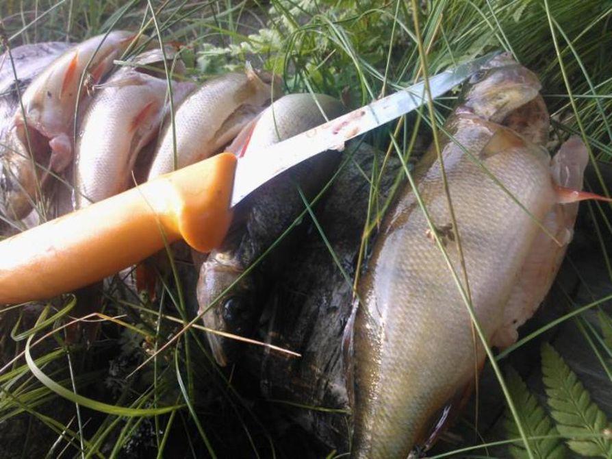 Ahven on yleinen saaliskala Suomessa. Ahvenet yleensä laitetaan ruoaksi, ilmenee tutkimuksesta.