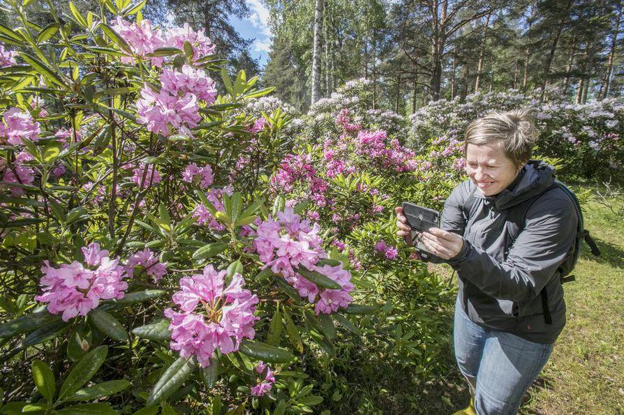 Tuiralainen Anna Kleemola käy ihastelemassa alppiruusuja joka kesä.