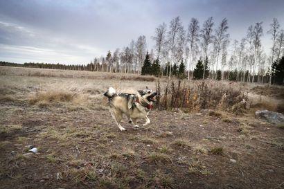 Koirien kiinnipitoaika alkaa sunnuntaina – lailla taataan rauha luonnoneläimille pesiä ja kasvattaa poikasia