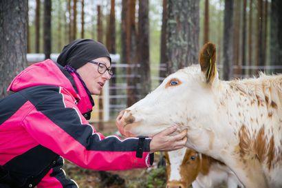 Hällintalon pihatto muuttui kotieläinpihaksi – tilan lampaat, vuohet, lapinlehmät, hevoset, alpakat, kanat ja kanit saavat elää lajityypillistä elämää