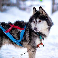 Keminmaa haluaa matkailukunnaksi – Huskyfirma aloittaa toimintansa seurakunnan entisessä leirikeskuksessa Honkamaassa jouluna