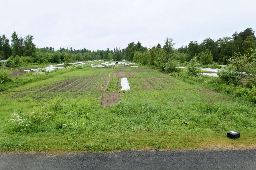 Huvipuisto raivaisi tieltään Hietasaaren viljelypalstoja.