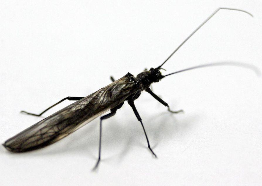 Potnapekka-hyönteisten ilmaantuminen on perinteisesti kertonut kevään alkamisesta Oulussa.