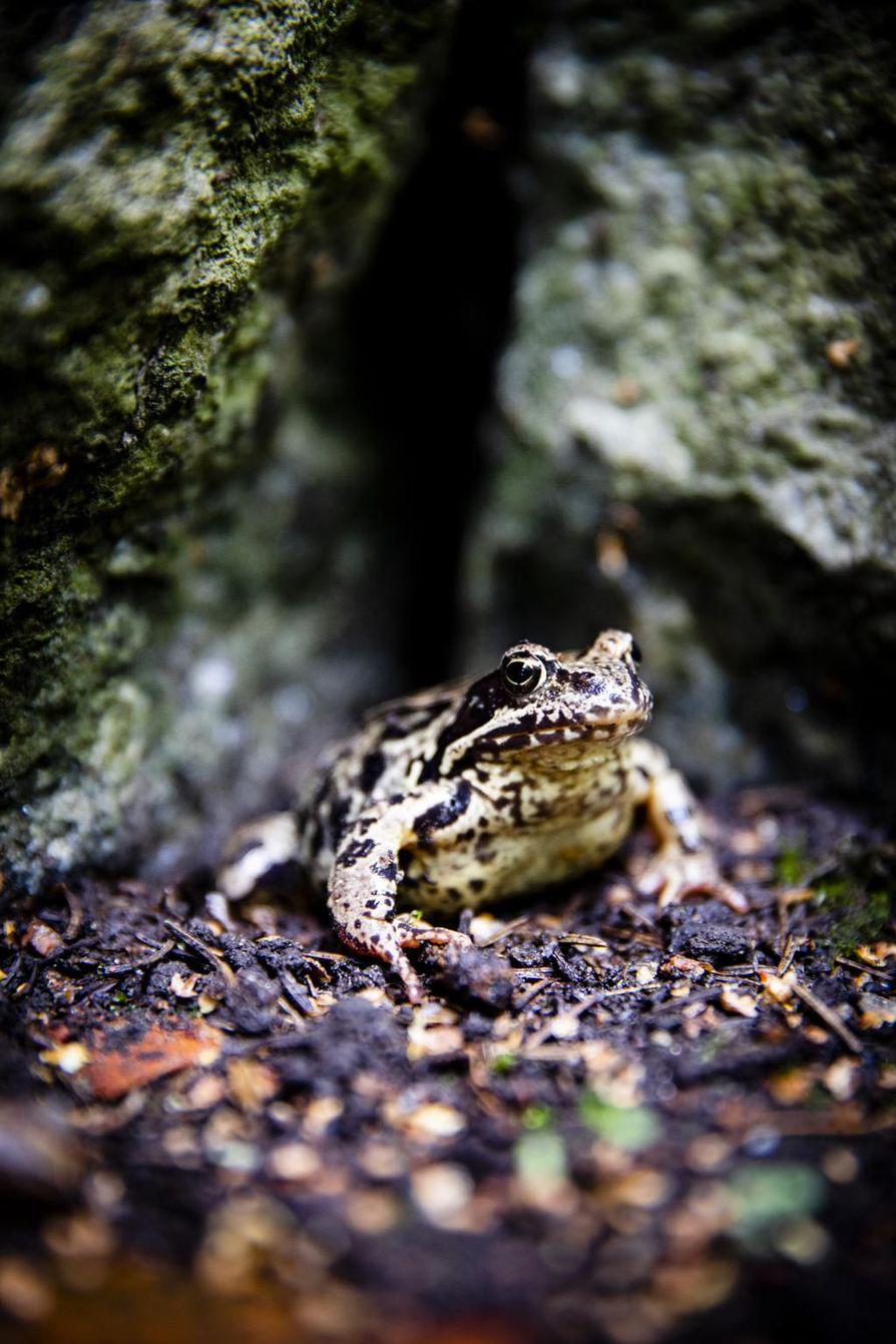 Nykyään Hennalassa on sammakoita. Kun vankileiri oli toiminnassa, nälkäiset vangit söivät kaiken vihreän, madot, sammakot ja jopa puun kuorta.