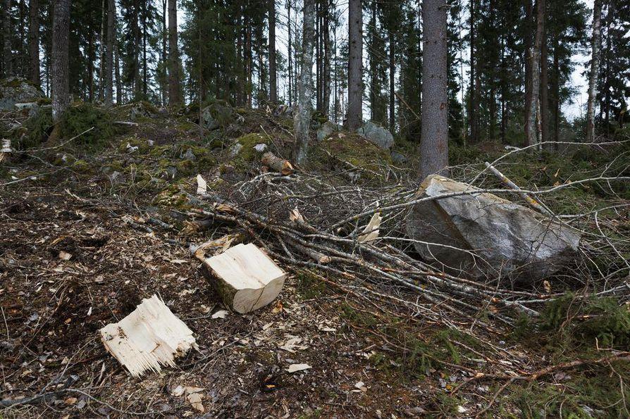 Metsä Groupin kaavailemat tehtaat tarkoittaisivat lisähakkuita Suomen metsiin. Arkistokuva.