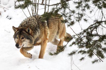 Susikolari alkaa olla yleinen, ja jos susi kuolee, se joutuu varsin valaisevaan ruumiinavaukseen