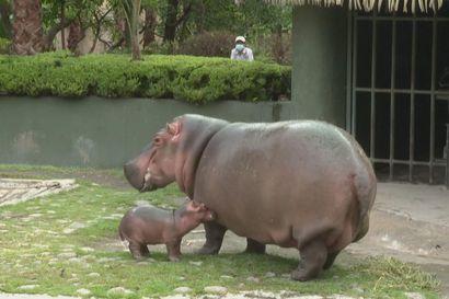 """Näin taapertaa """"pieni"""" virtahepovauva – painaa jo 50 kiloa"""