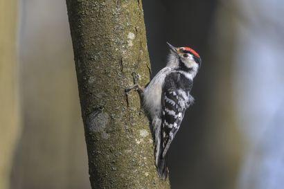 Pikkutikka on aamuvirkku rummuttaja, jonka voi löytää lakeuden jokivarsilta – BirdLife Suomen vuoden linnun kannasta ei ole tarkkaa tietoa